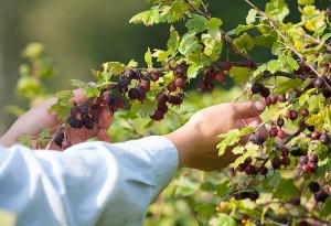 На фото - выращивание крыжовника, vogorode.net