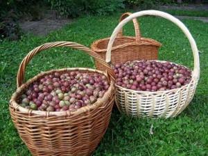 Фото сбора урожая крыжовника, rus-bazar.com