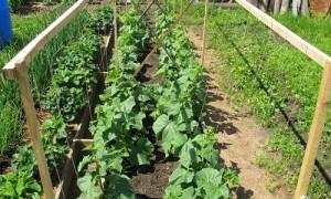 Посадка огурцов в открытый грунт – сажаем, выращиваем