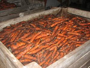Фото хранения моркови в погребе на зиму, hitagro.ru