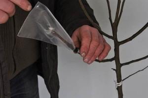 На фото - прививка плодовых деревьев зимой, ishim-news.ru