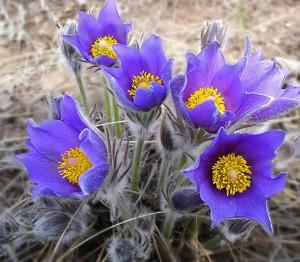 Весенние садовые цветы для Сибири