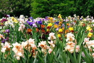 Самые неприхотливые садовые цветы – летние красавцы фото