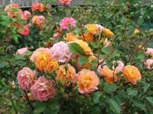Розы и лилии – чем украсить Сибирь?