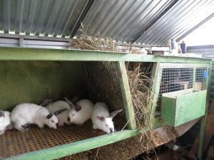 Фото содержания кроликов в сарае, кролики-урала.рф