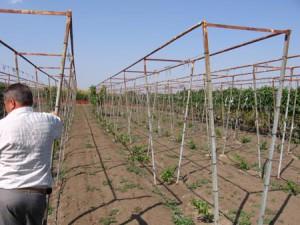 На фото - двухплоскостные шпалеры для винограда, vinograd.info