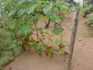 На фото - установка деревянных шпалер для винограда, strmnt.com