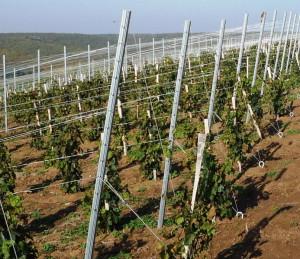 Фото расположения шпалер для винограда, gilass.com.ua