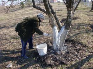 На фото - осенняя побелка деревьев в саду от вредителей, purichvalera.com