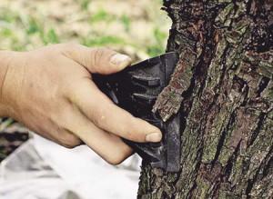 Фото обрезки промерзшей коры деревьев весной, zd100.ru