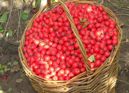 как приготовить компот из боярышника без сахара на зиму