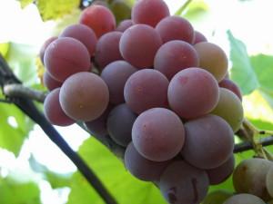 Виноград Изабелла – польза и вред подарка природы