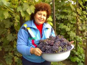 Фото выращивания винограда Изабелла, greencity.od.ua