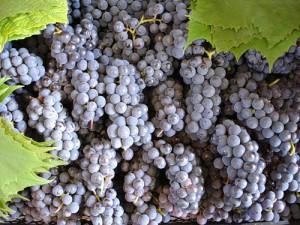 На фото - плодоношение винограда Изабелла, new-selectioner.my1.ru