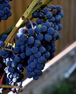 Фото винограда Изабелла около загородного дома, blogs.plantopedia.ru