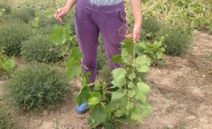 На фото - посадка саженцев винограда Изабелла, kaluzhskaya-obl.tiu.ru