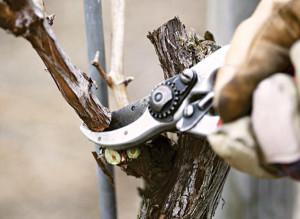 Обрезка винограда изабелла осенью видео