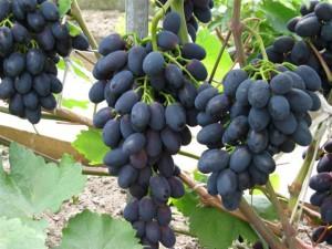 Фото гибридного сорта винограда Кодрянка, vinogradik.com.ua