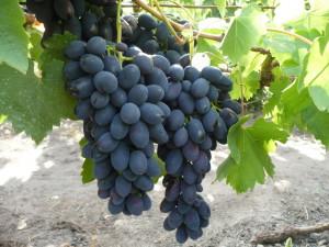 На фото - грозди винограда Кодрянка, hozvo.ru