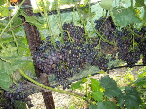 Фото высокорослого винограда Кодрянка, kievgrape.blogspot.com