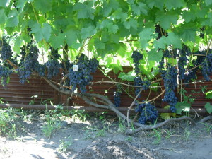 На фото - виноград Кодрянка, vinogradsaratov.ru