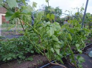 На фото - молодые саженцы винограда Кодрянка, kievgrape.blogspot.com