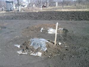 На фото - укрытие саженцев винограда, na-dache.com.ua