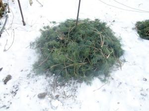 Фото окучивания виноградной лозы на зиму, kievgrape.blogspot.com