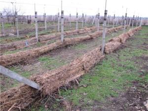 На фото - укрытие винограда на зиму, agrorad.ru