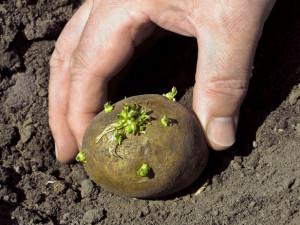 Фото весенней посадки картофеля, chudo-ogorod.ru