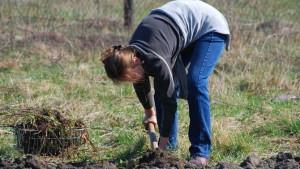 На фото - удобрение почвы под посадку картофеля навозом, greendacha.com
