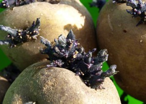 Фото проращивания клубней картофеля перед посадкой, rastenievodstvo.su