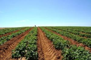 Фото капельного полива картофеля, aik.su