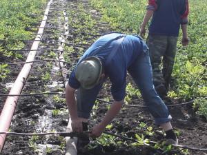 На фото - полив картофеля, kartofel-land.ru