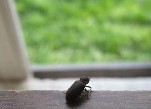 На фото - жук-щелкун в квартире, macroclub.ru