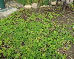Когда собирать урожай арахиса – ориентируемся на погоду