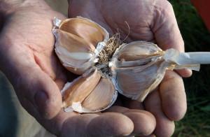 На фото - проверка головки чеснока на грибковые заболевания, ksv.ru