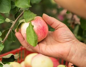 Консервация яблок на зиму – готовим плоды к хранению