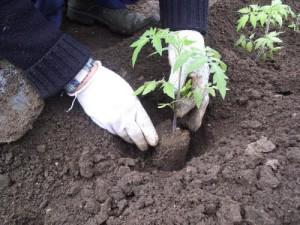 Фото высаживания рассады томатов, teplica-i-parnik.ru
