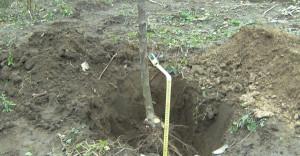 Фото места для посадки яблони, sad-lopatina.org.ua