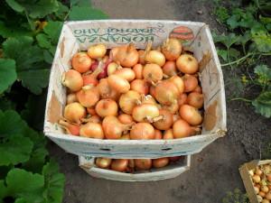 Фото урожая лука, liveinternet.ru
