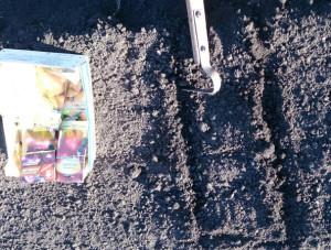 На фото - подзимняя посадка лука-чернушки, intermonitor.ru