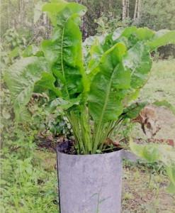 Фото выращивания хрена в бочке, fesada.ru