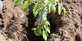 Состав грунта для рассады томатов