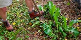 Как убрать хрен с огорода