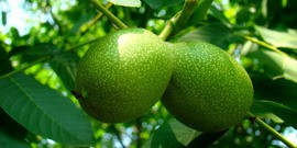 Саженцы грецкого ореха – с чего начинается ореховый сад?