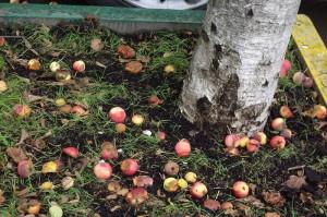 Фото опавших гнилых яблок, m-sinklitikiya.livejournal.com