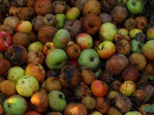 На фото - удобрение из опавших яблок, bolshoyvopros.ru