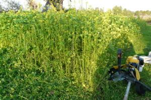 Фото скашивания растений сидератов, mastercity.ru