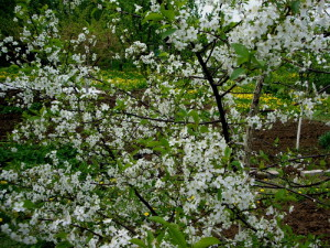 На фото - вишневое дерево, liveinternet.ru